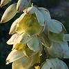 Yucca Blossoms