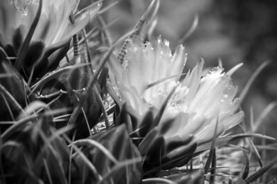 Spring Flowers_Arizona_photos by Gabe DeWitt_May 18, 2012-2