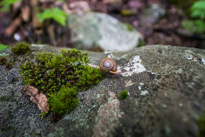 Flat-spired-three-toothed-snail-Cheat-Canyon-West-Virginia-24