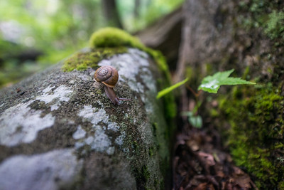 Flat-spired-three-toothed-snail-Cheat-Canyon-West-Virginia-39