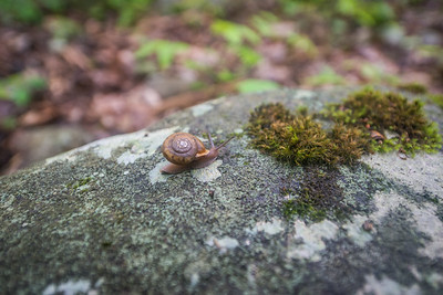 Flat-spired-three-toothed-snail-Cheat-Canyon-West-Virginia-10