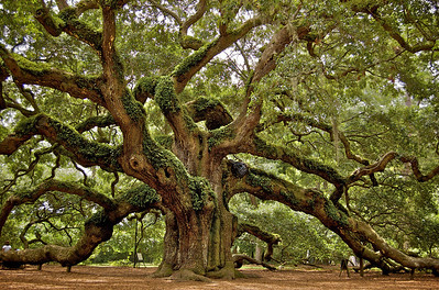 Angel Oak. Johns Island. Charleston, South Carolina