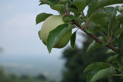 A young apple trying to mature