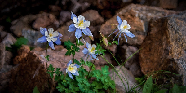 Colorado Columbine Flowers