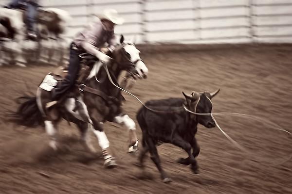 Cowboy Roping steer