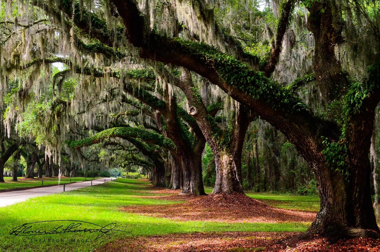 Avenue of the Oaks II