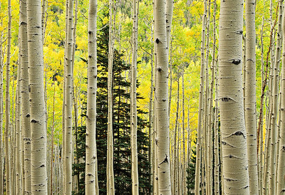 Aspens and Fir
