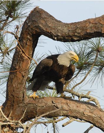 Eagle in Daytona