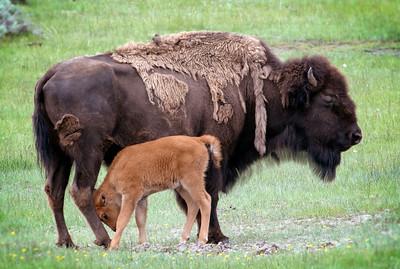 Mom & Baby Buffalo