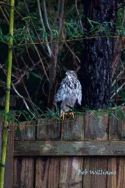 Raptor on Fence