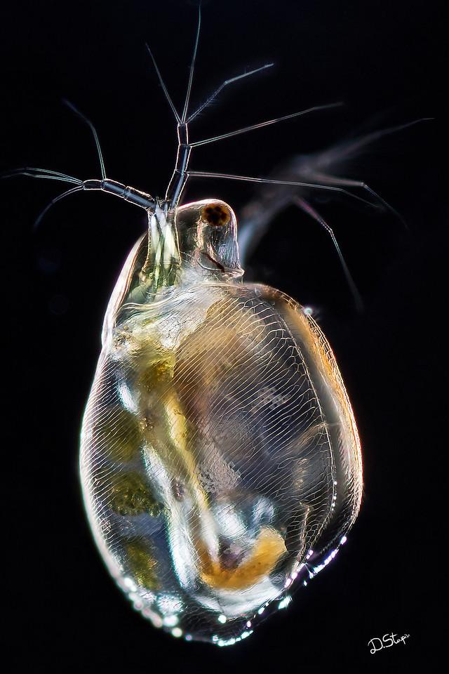 Freshwater planktonic water flea Simocephalus