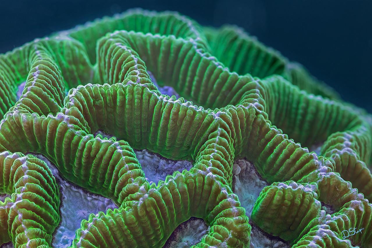 Platygyra coral