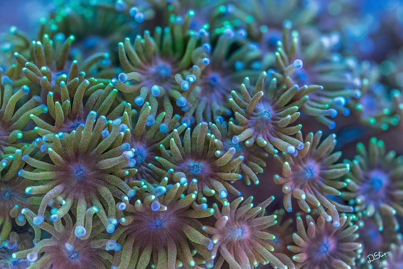 Goniopora coral