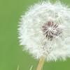 Dandelion (horizontal)