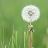 Dandelion (vertical)