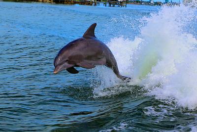 Dolphin-3081_bak
