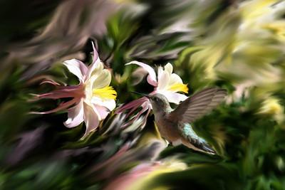 Humming_Bird-1624_