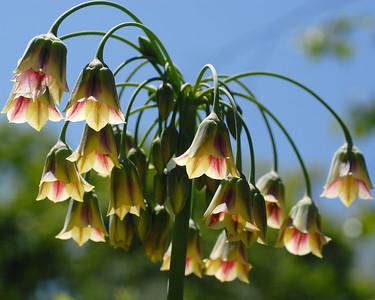 Bell Flowers 2
