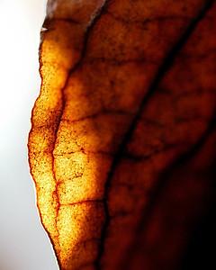 Pink Dogwood Leaf in Fall
