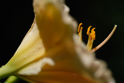 Day Lily 4