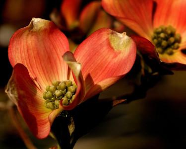 Pink Dogwood Flower