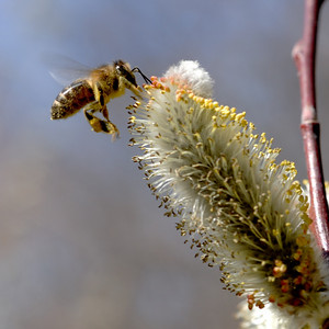 Pussy Willow Catkin with Bee 5x5