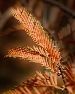 Dawn Readwood Leaf