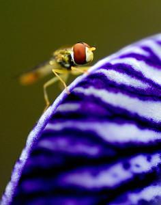 Blue Iris with Friend