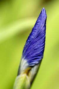Iris tip