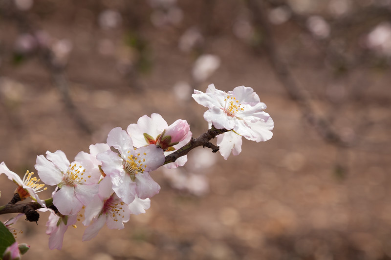 Raindrop on the almond blossom