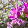 Magnolia trees spring flowering