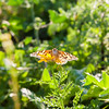 Butterflies at spring flowering season