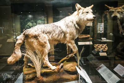 Wolf buried as an offering to Myan Gods