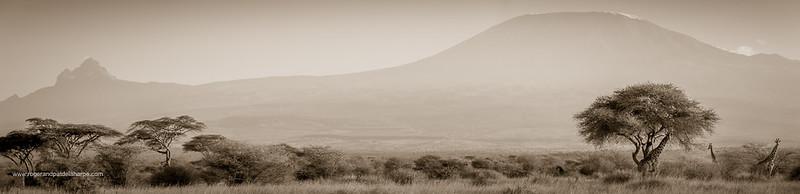 Kilimanjaro Giraffes Art Print