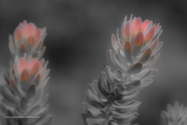 Rooistompie Flower Art Print
