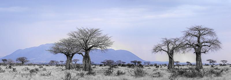 Ruaha Baobab Trees Art Print