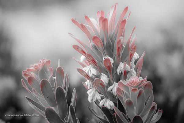 Mimetes Flower Art Print
