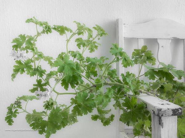 Pelargonium Leaves Art Print