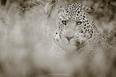 Male Leopard in Thick Bush