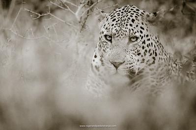 Leopard (Panthera pardus) male. Phinda / Munyawana / Zuka Game Reserve.  KwaZulu Natal. South Africa