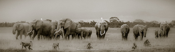 African bush elephant (Loxodonta africana) herd and Olive baboon or Anubis baboon (Papio anubis). Amboseli National Park. Kenya.