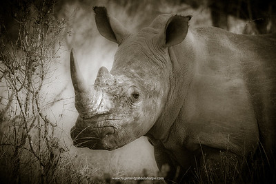 Kruger Park White Rhino