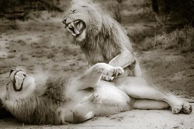 Huge MalaMala Lions Growling