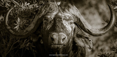 African buffalo, also know as Cape Buffalo (Syncerus caffer) portrait. Kruger National Park. Mpumalanga. South Africa.