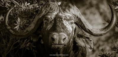 African Buffalo Panorama