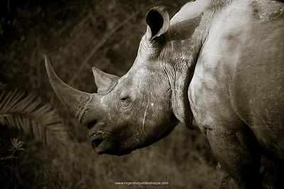 White rhinoceros or square-lipped rhinoceros or rhino (Ceratotherium simum). Kruger National Park. Mpumalanga. South Africa.