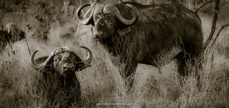 African Buffalos in Veld