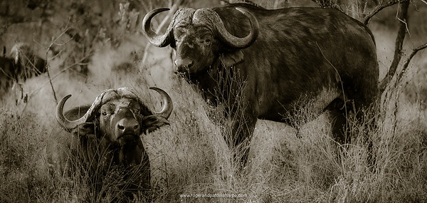 African buffalo, also know as Cape Buffalo (Syncerus caffer). Kruger National Park. Mpumalanga. South Africa.