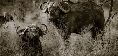 African Buffalos in Veld