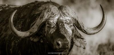 Kruger Park African Buffalo